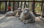 Other animals, like these Gulf Coast Sheep, also can be found in the Farmyard.