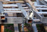"""The Ringtail lemurs are part of the """"Explore the Wild"""" exhibit at the museum."""