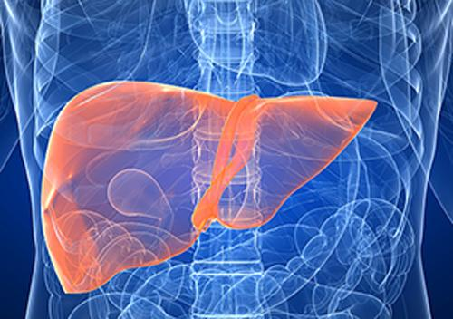 The Hamner Institutes for Health Sciences is partnering with major pharmaceutical companies to explore the impacts of new drugs on the liver.