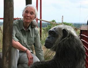 Dr. Jane Goodall with rescued chimpanzee LaVielle at the Jane Goodall Institute's Tchimpounga Chimpanzee Rehabilitation Center in the Republic of Congo.