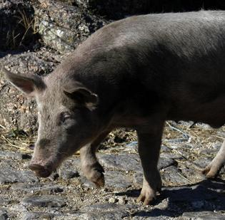 The federal government is giving New Mexico $1 million to see if the state can discover a way to get rid of feral pigs.
