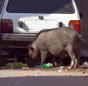 Feral pigs can make quite a mess.