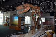 Take a look at a juvenile T. Rex on the third level of the Natural Research Center.