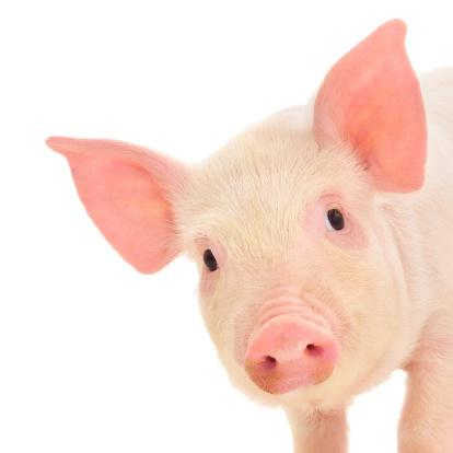 The Minnesota angel-investor tax credit program has a new report listing all the credits it issued during 2012, and the largest deal went to a company that sees potential for pigs to change medicine.