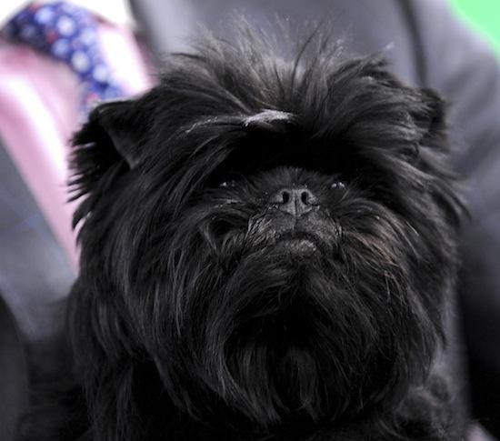 Banana Joe, an Affenpinscher and winner of Best in Show at the Westminster Kennel Club dog show, makes an appearance on Bloomberg Television in New York on Wednesday. The sparkling black Dutch-born Affenpinscher was the first of his breed to win the Westminster Kennel Club dog show at New York's Madison Square Garden last night.
