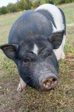 Cargill boosts U.S. hog production to meet export demand