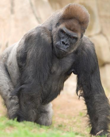 Gorillas are among the main attractions at the N.C. Zoo.