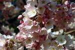 Shutdown could affect National Cherry Blossom Festival