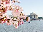 D.C. Mayor Vincent Gray hopes for $200M impact from cherry blossoms