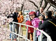 The Cherry Blossom Festival could be an especially big draw as it celebrates its 50th year.