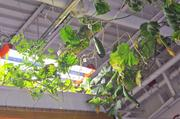 Cucumbers grow overhead, using fertilizer produced by fish.