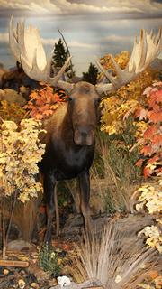 This moose is sure to be a favorite for Cabela's visitors.