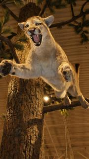 Heads up! A cougar leaps from a tree in one of the store's many realistic displays re-creating animals in their natural habitat.