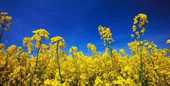 Winter canola crops could start sprouting in the region once a canola processing plant opens in northern Oklahoma.