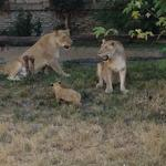 African Lion Cubs expected to spike Buffalo Zoo's attendance