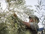 South Texas olive growers expecting record numbers as harvest begins (slideshow/video)