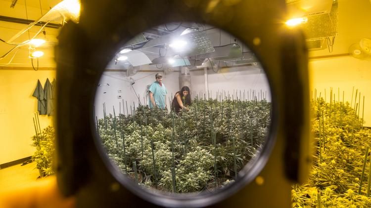 While recreational marijuana didn't pass in Arizona, medical marijuana is alive and well. Ben Abourjeilu, left, a grower at the Giving Tree Wellness Center, and Lilach Power, managing director of the 10,000-square-foot cultivation lab, check the crops.