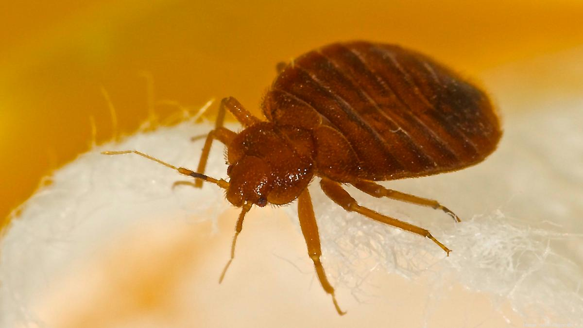 Cincinnati's bed bug ranking improves - Cincinnati Business Courier