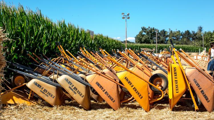 Uesugi Farms, pumpkin grower owned by Joe Aiello of Morgan