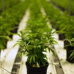 Calls mount for Legislature to hash out free-market medical marijuana rules in Florida