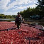 Cranberry growers appeal for tax credits to upgrade bogs