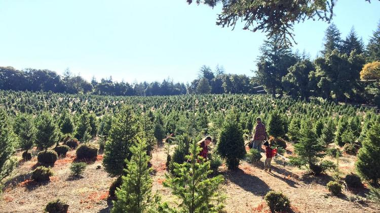 silicon valleys 10 best christmas tree farms