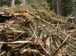 Forest biomass faces tough economics as rural jobs generator, OSU researchers say
