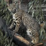 Maryland Zoo creating new bobcat habitat as it stays in the black