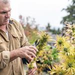 Trump administration marijuana crackdown talk jars Oregon industry
