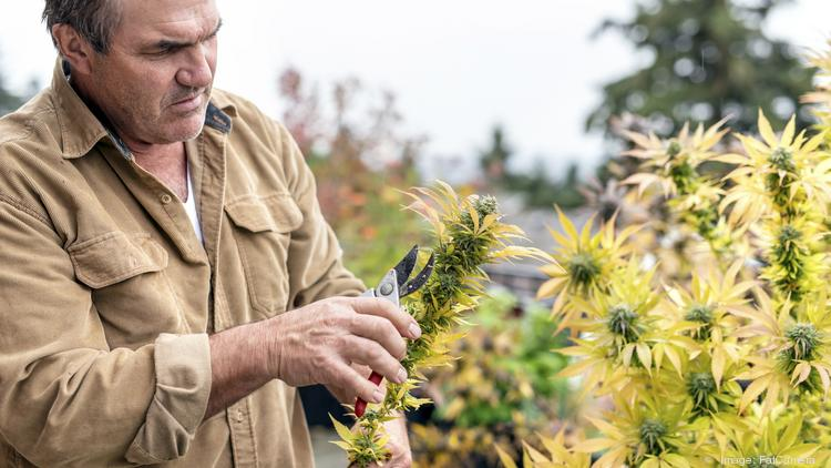 Medical growers and patients have suffered under regulations that have  helped build a big licensed recreational