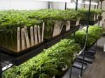 Read Jeff Sessions' memo rescinding Obama-era marijuana policy