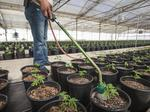 Photos: Behind the scenes of Monterey County's weed farms