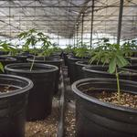 California cannabis growers and sellers feel out the feds