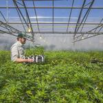 Bay Area weed businesses call out top cannabis trends in 2017