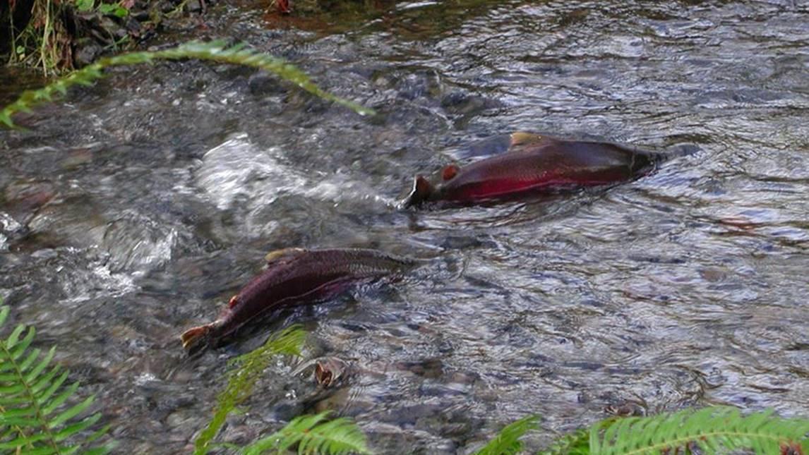 Conservationists sue oregon over endangered coho for Salmon fishing season oregon