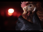 Investigation finds starving chickens at Sprouts Farmers Market egg supplier