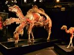 Milwaukee County Zoo opens 'Body Worlds: Animals Inside Out'