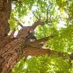 Gov. Abbott, state lawmaker target Austin heritage tree ordinance