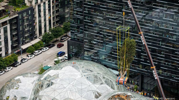 A 55-foot-tall Ficus rubiginosa tree nicknamed Rubi arrived in Seattle earlier this month and was craned into the new Amazon.com Spheres building in downtown Seattle on Tuesday. Five other trees will be similarly planted in the Spheres this summer, according to Amazon.