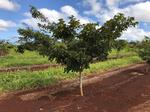 A&B partners with California-based company to grow energy crop on former Maui sugar land
