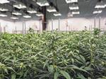 Four Dayton area sites approved to cultivate medical marijuana
