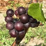 Florida grower to debut Disney-area winery, vineyards