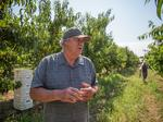 Can Silicon Valley's last remaining orchards flourish?