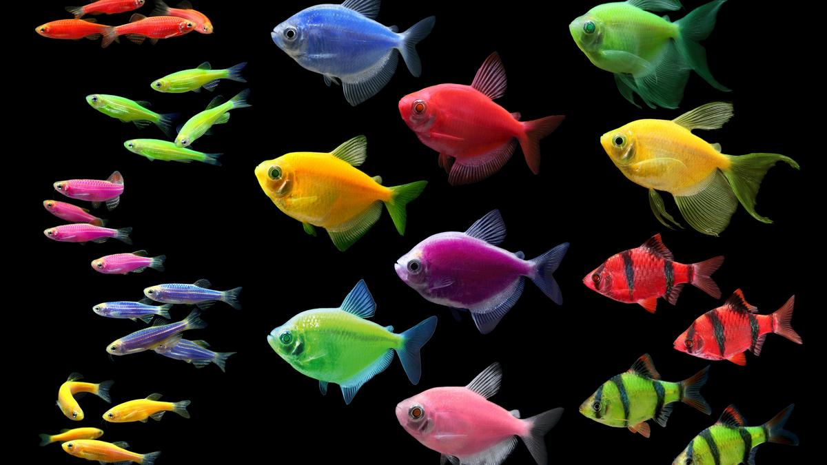 glofish has sold the ip to make fish glow for 50m austin