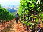 With revenues gushing Oregon wineries greatly enlarge state economic impact (Infographics)