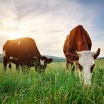 Going vegan won't offset animal greenhouse gases