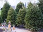 What Christmas tree shortage?