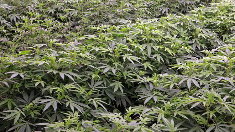 Oregon cannabis tax revenue hits record high - Portland Business Journal