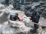 Gorilla house renovation could be next at Buffalo Zoo