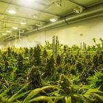 Health department secretary approves leaf form of medical marijuana